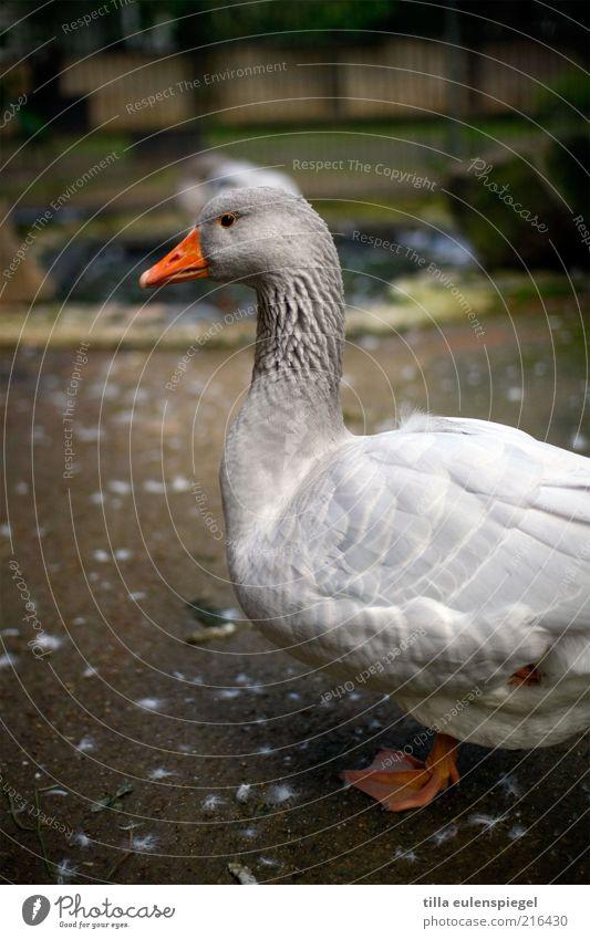 Weihnachten ist Deadline Nutztier Zoo 1 Tier stehen warten natürlich grau Wachsamkeit tierisch Gans einbeinig geduldig Profil Außenaufnahme Tierporträt