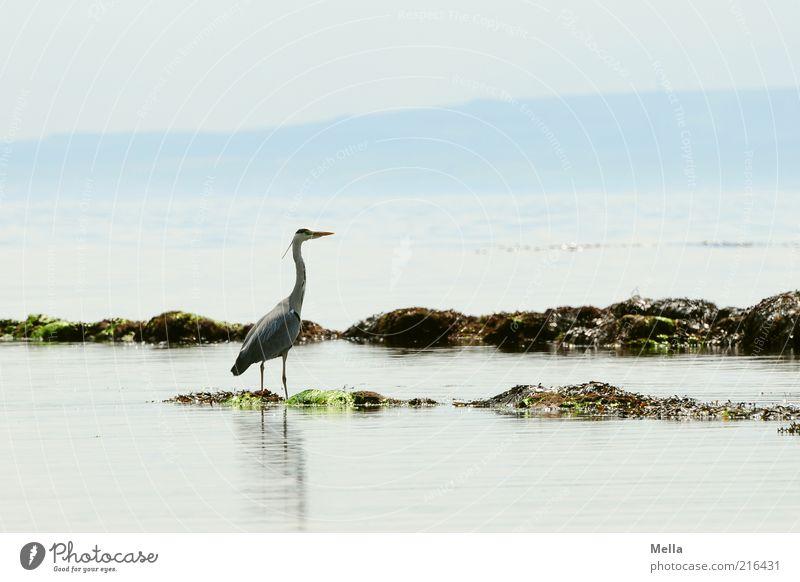 Reiher, schottisch, die Zweite Ferien & Urlaub & Reisen Strand Meer Umwelt Natur Landschaft Tier Wasser Küste Vogel Graureiher 1 stehen frei hell natürlich blau