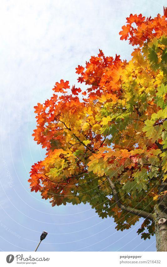 farbverlauf Natur Himmel Baum Pflanze Blatt braun Umwelt Wandel & Veränderung Schönes Wetter Straßenbeleuchtung Herbstlaub mehrfarbig Detailaufnahme herbstlich Herbstfärbung