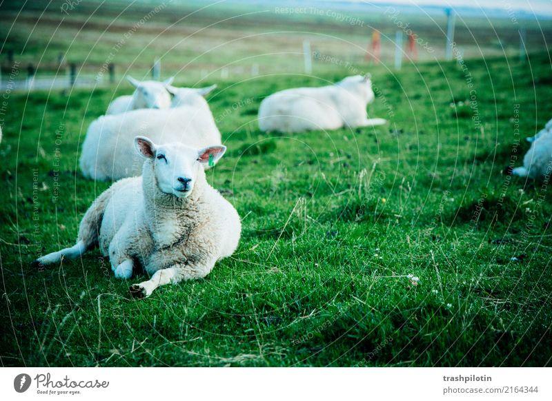 Schafe Nutztier Schafherde 4 Tier Herde Tierfamilie Erholung frei grün weiß Zufriedenheit 2017 Halligen Kapelle Petra sonja berg Farbfoto Außenaufnahme