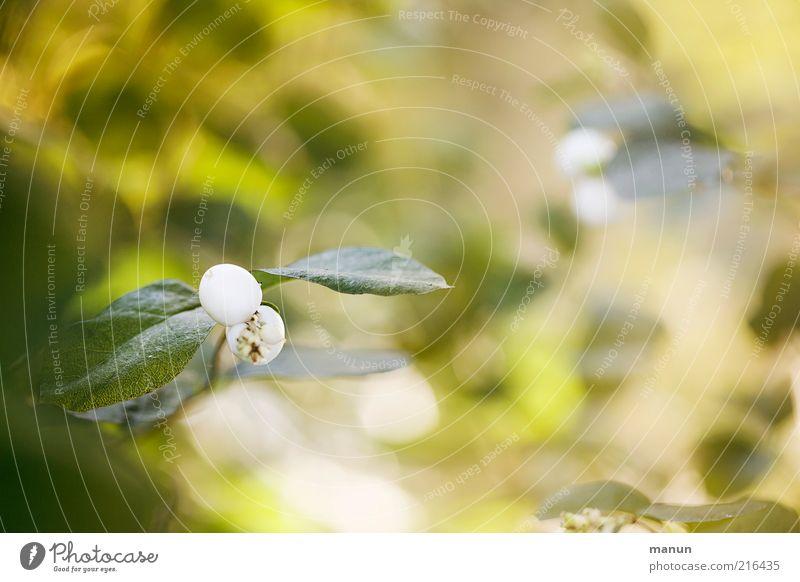 Knallbonbons Natur schön weiß Pflanze Blatt Herbst hell Wachstum Sträucher natürlich herbstlich Fruchtstand Wildpflanze Beerensträucher Geißblattblüte