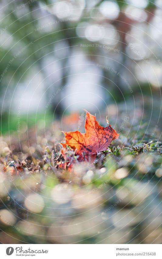 Ahornblatt Natur Herbst Blatt Herbstlaub herbstlich Herbstfärbung Herbstbeginn leuchten liegen Farbfoto Außenaufnahme Tag Reflexion & Spiegelung