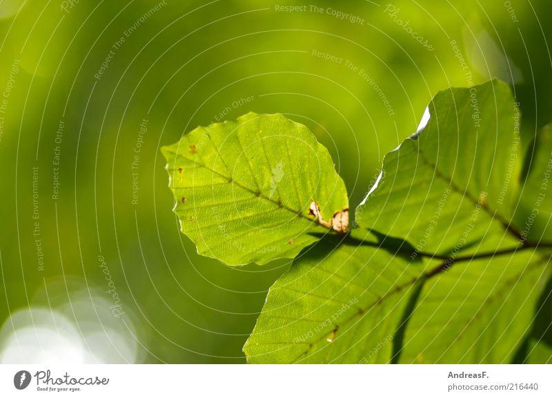 Buchenzweig Natur grün Pflanze Blatt Umwelt Ast leuchten Zweig Umweltschutz Textfreiraum Herbstlaub Oktober herbstlich Zweige u. Äste Lichtschein