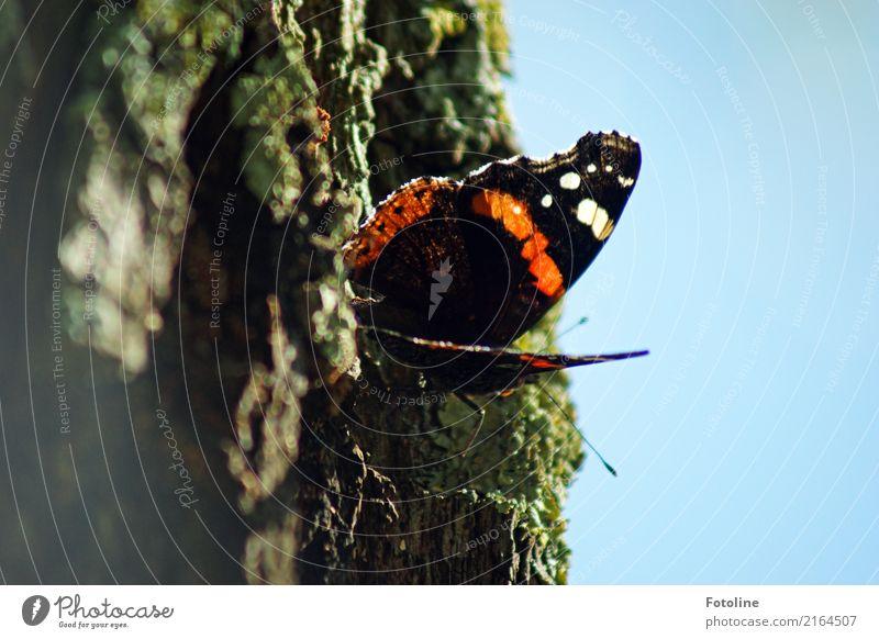 kleiner Flattermann Umwelt Natur Pflanze Tier Himmel Wolkenloser Himmel Sommer Baum Park Wildtier Schmetterling Flügel 1 frei hell nah natürlich blau mehrfarbig