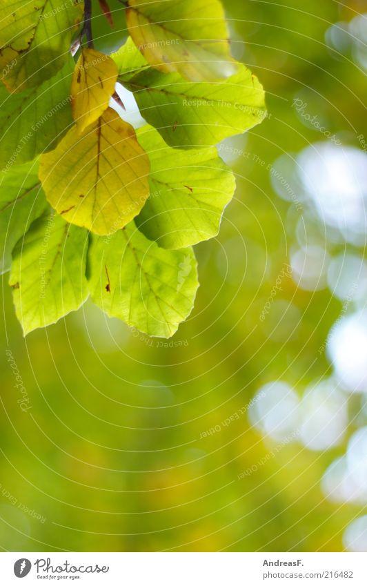Herbstfarben Umwelt Natur Pflanze Blatt grün Buche Buchenblatt Herbstlaub Herbstfärbung Unschärfe Zweig Blätterdach Textfreiraum Farbfoto Außenaufnahme