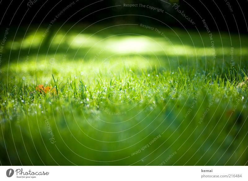 Herbstsonne im Gras Natur grün Pflanze Blatt Wiese Landschaft Umwelt hell nass glänzend frisch Klima Schönes Wetter Lichtspiel Grünpflanze