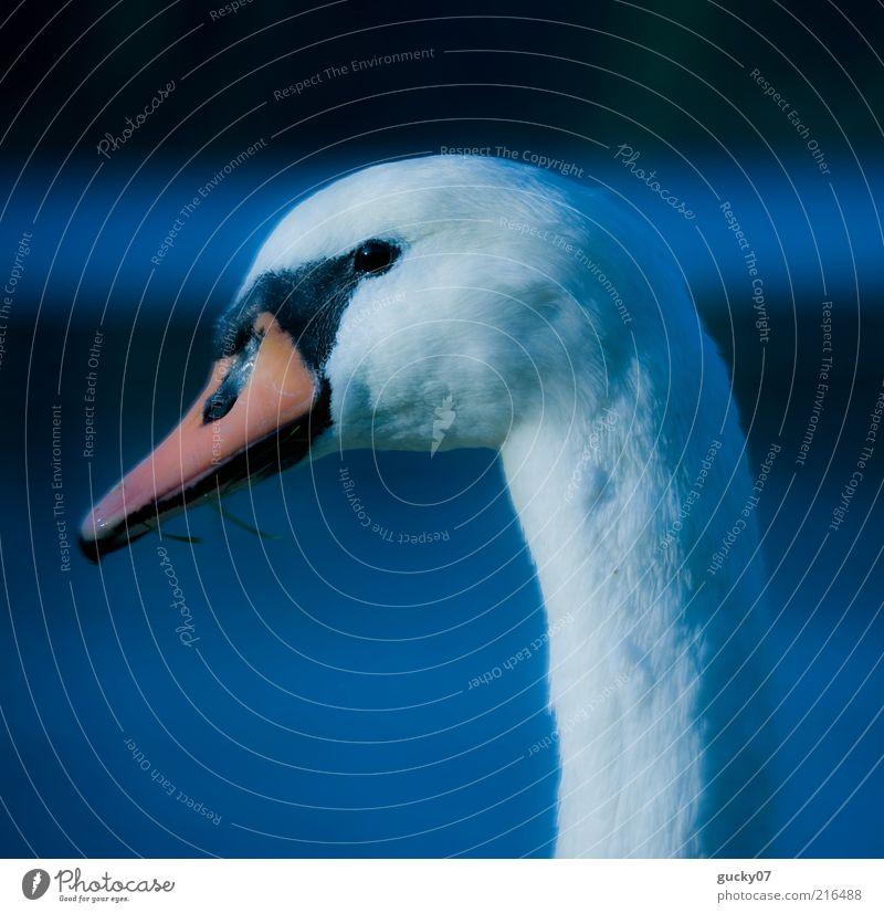 Lady Schwan Wasser See Tier Tiergesicht Schnabel Feder 1 ästhetisch elegant natürlich schön blau weiß Romantik ruhig Reinheit Idylle einzigartig Stolz Farbfoto