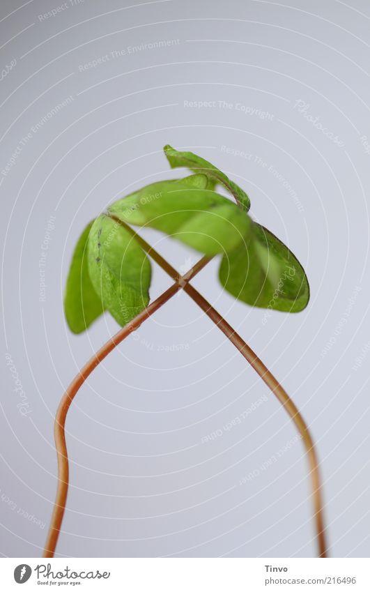 doppeltes Glück grün Pflanze grau frisch paarweise einfach zart positiv Verliebtheit Klee Optimismus Verbundenheit kreuzen Grünpflanze gekreuzt
