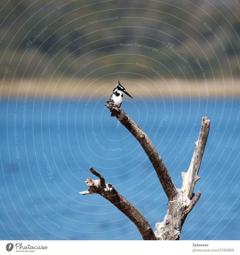 Pied Kingfisher Ausflug Ferne Freiheit Umwelt Natur Ast Totholz Küste Seeufer Flussufer Tier Wildtier Vogel Eisvögel 1 natürlich Ornithologie Farbfoto