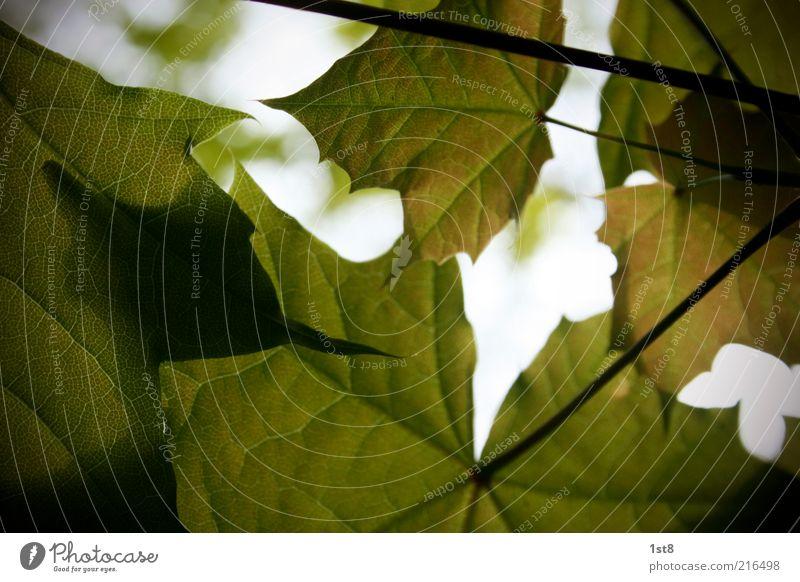 tabak is' alle! Umwelt Natur Pflanze Blatt Ahornblatt Herbst Herbstlaub herbstlich Schatten Licht grün Farbfoto Textfreiraum unten Sonnenlicht