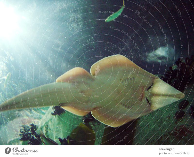 Rochen Wasser schön Sonne Meer blau gelb See Beleuchtung nass Fisch unten Salz Algen Unterwasseraufnahme