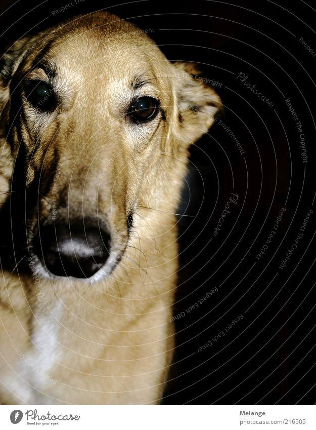 wuff schwarz Tier Kopf Hund braun Neugier Haustier beige Schnauze Abend Licht