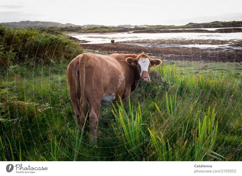 Seekuh Landschaft Wasser Himmel Horizont Sommer Pflanze Gras Sträucher Schilf Küste Bucht Meer Atlantik Ebbe Kuh 2 Tier beobachten Fressen authentisch Neugier