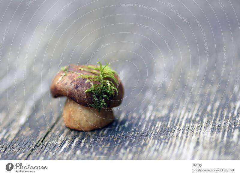 kreativ| Hutmode in der Natur Umwelt Pflanze Moos Pilz Maronenröhrling Wald Holz festhalten stehen außergewöhnlich schön einzigartig klein natürlich braun grau