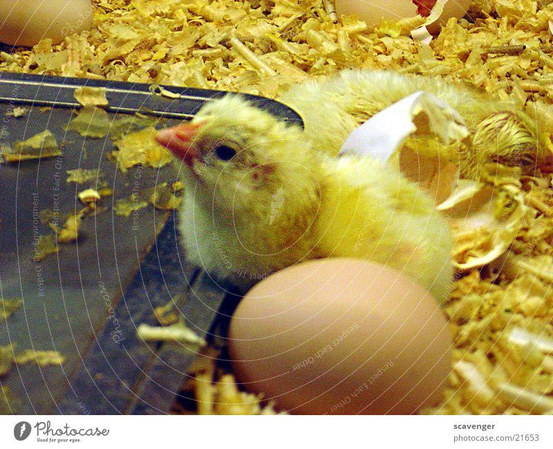 kücken Tier gelb klein Tierjunges liegen Ei Stroh Brutpflege Brutkasten