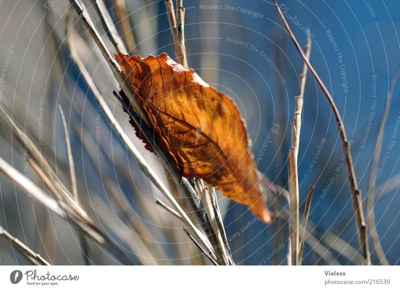 gefallen und verfangen Natur Herbst Blatt dehydrieren frisch blau braun Gefühle Farbfoto Licht Schatten Unschärfe vertrocknet herbstlich Herbstlaub Ast Gras