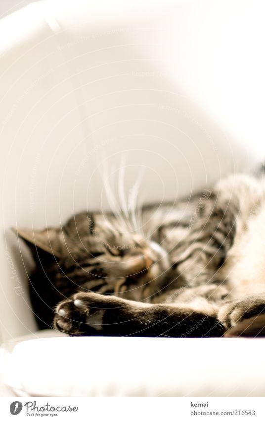 Sleeping Beauty ruhig Tier Erholung Katze Zufriedenheit schlafen Stuhl Tiergesicht liegen Häusliches Leben Fell niedlich gemütlich Pfote Haustier Wohlgefühl