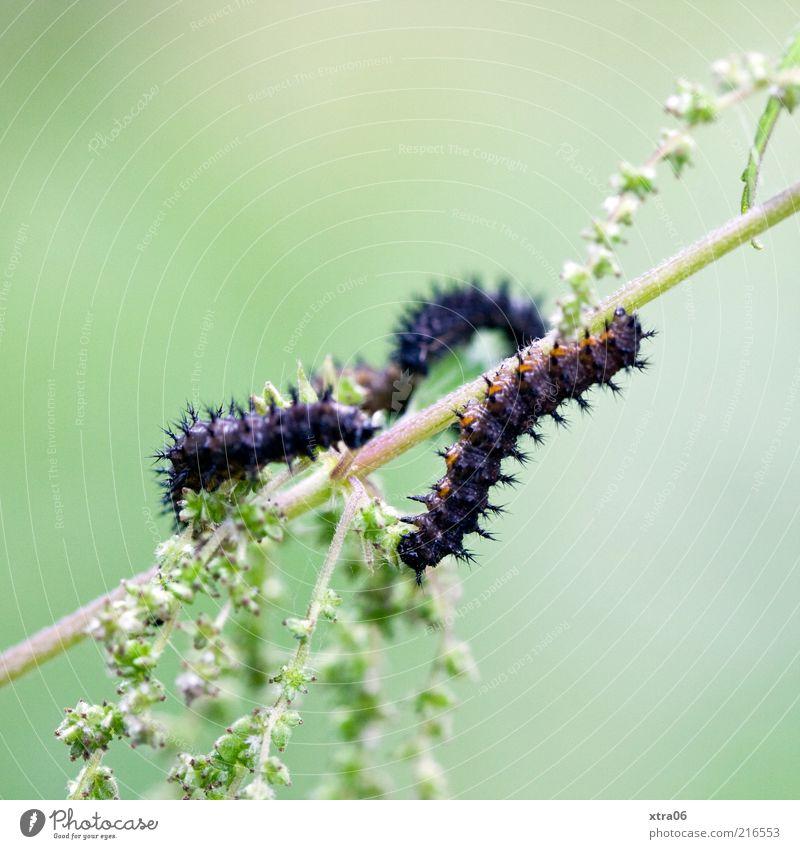pärchen Tier 2 grün schwarz Raupe Insekt Pflanze Grünpflanze Farbfoto Außenaufnahme Nahaufnahme Detailaufnahme Makroaufnahme Textfreiraum links