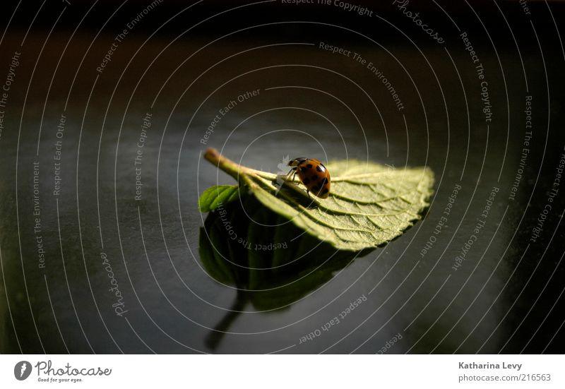 lonesome rider Blatt Tier Wildtier Käfer Marienkäfer 1 beobachten Bewegung festhalten krabbeln Ferien & Urlaub & Reisen authentisch klein Neugier niedlich grün