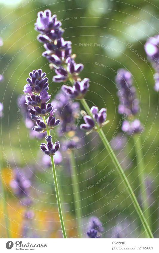 Lavendel Pflanze blau grün weiß Blume schwarz gelb Herbst Gesundheit natürlich Garten Park Schönes Wetter Kräuter & Gewürze Wellness violett