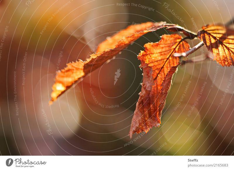 Herbstlicht Natur Pflanze Blatt Herbstlaub Buchenblatt Park Wald schön Wärme braun orange Stimmung Warmherzigkeit Herbstgefühle Lichtstimmung Novemberstimmung