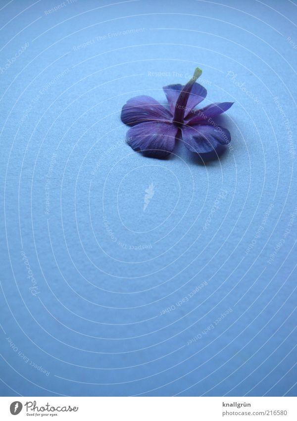 Kopfüber Natur blau Pflanze Blüte liegen violett Vergänglichkeit Blühend Duft Blütenblatt Veilchengewächse Duftveilchen Geruch Blume kopfvoran