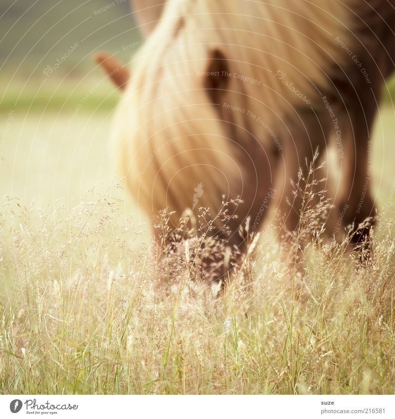 Grasfresser Natur Tier Wiese Nutztier Wildtier Pferd 1 Fressen ästhetisch authentisch schön natürlich Stimmung Mähne Island Ponys Weide tierisch Farbfoto