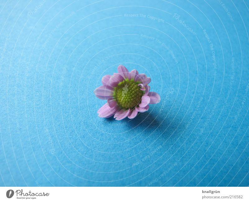 Pink Daisy Natur Pflanze Gänseblümchen Blühend liegen verblüht blau gelb rosa Vergänglichkeit Farbfoto Studioaufnahme Menschenleer Textfreiraum links