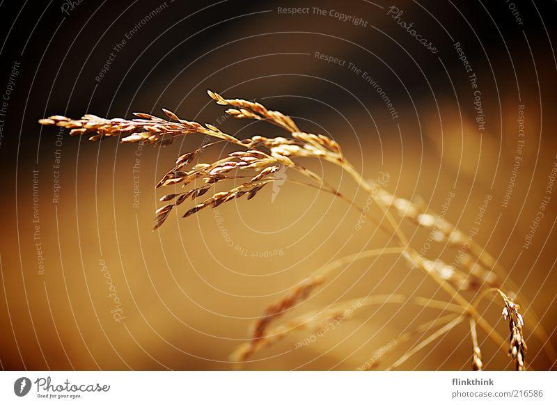 Glatthafer Umwelt Landschaft Pflanze Grünpflanze Wildpflanze Hafer Wiese ästhetisch nachhaltig braun gold säen Ernte Einkommen Wachstum Farbfoto Außenaufnahme