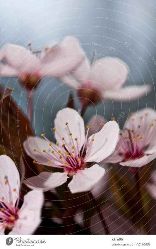 blümchen am morgen Umwelt Natur Pflanze Blume Sträucher Blüte rosa Farbfoto Außenaufnahme Nahaufnahme Textfreiraum oben zart zierlich Blühend Wachstum Frühling