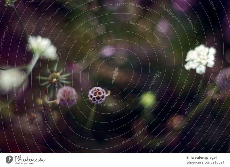 flimmerstunde Umwelt Natur Pflanze Blume Gras Blüte natürlich schön violett Farbe Unschärfe Pflanzenteile mehrfarbig Farbfoto Textfreiraum oben