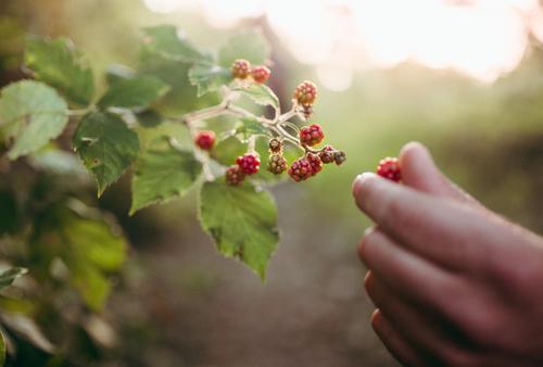 Nahaufnahme von wilden Himbeeren Lebensmittel Gemüse Frucht Picknick Bioprodukte Lifestyle Freude Freizeit & Hobby Ferien & Urlaub & Reisen Tourismus Ausflug