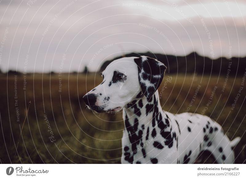Abenteuer eines Dalmatiners Natur Landschaft Park Wiese Feld Tier Haustier Hund 1 Blick stehen Neugier Interesse entdecken Entschlossenheit Wachsamkeit