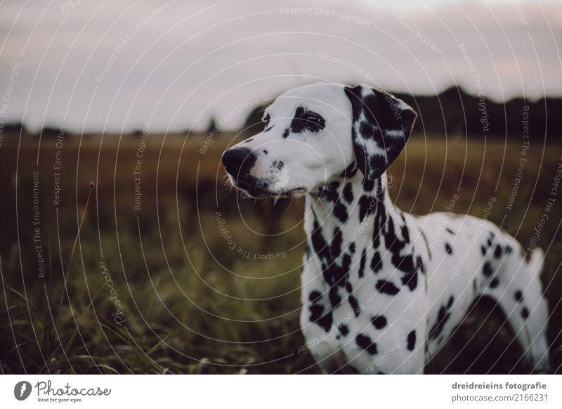 Dalmatiner auf weiter Flur Lifestyle Stil Natur Landschaft Frühling Sommer Herbst Park Wiese Feld Tier Hund beobachten Blick stehen ästhetisch schön niedlich