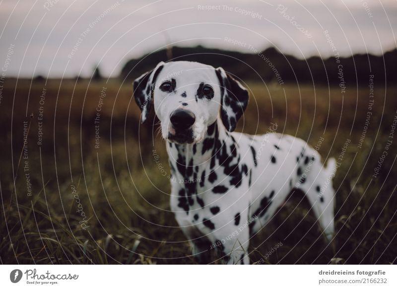 Abenteuer eines Dalmatiners Natur Hund Landschaft Tier Umwelt Wiese natürlich Freundschaft Park Feld stehen niedlich Neugier Hoffnung Glaube Haustier