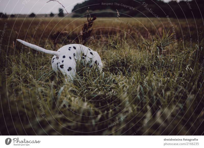 Abenteuer eines Dalmatiners Umwelt Natur Landschaft Wiese Tier Haustier Hund 1 Neugier Interesse Leben Lebensfreude Suche finden Geruch entdecken Farbfoto