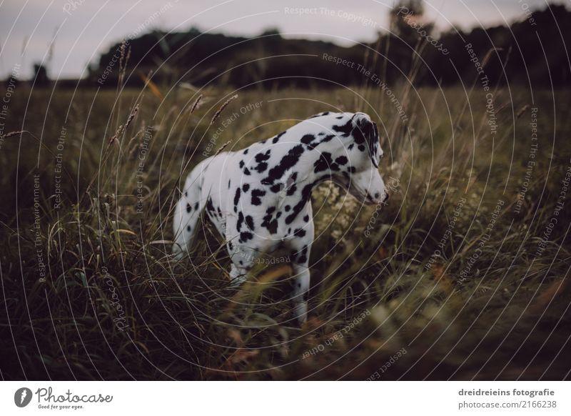 Abenteuer eines Dalmatiners Umwelt Natur Landschaft Wiese Tier Haustier Hund 1 Blick stehen Neugier niedlich Interesse entdecken Leben Suche Wachsamkeit