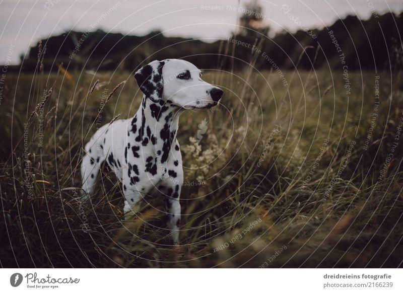 Abenteuer eines Dalmatiners Natur Landschaft Wiese Tier Haustier Hund 1 entdecken stehen Neugier niedlich Lebensfreude Fröhlichkeit Wachsamkeit Farbfoto