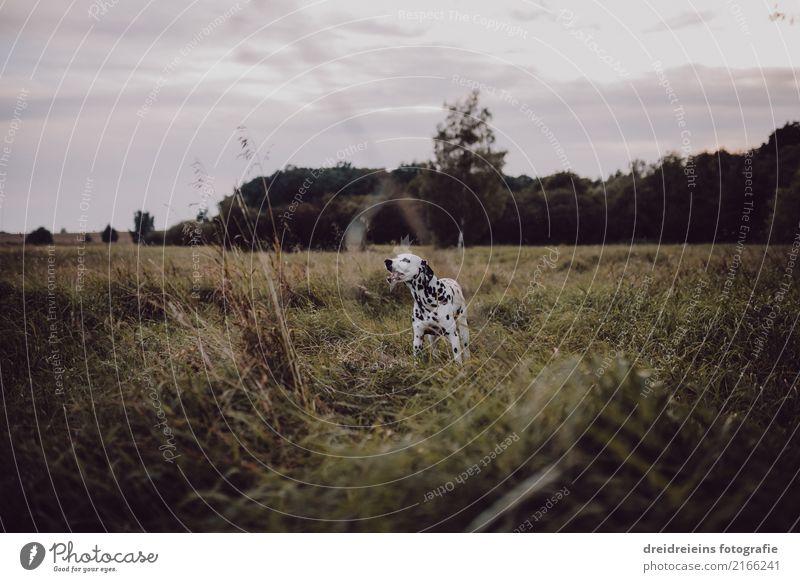 Abenteuer eines Dalmatiners Natur Landschaft Wiese Tier Haustier Hund entdecken Neugier niedlich Naturliebe Leben Lebensfreude Farbfoto Außenaufnahme