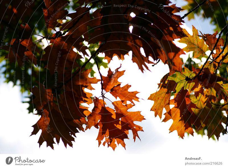Blätterdach Umwelt Natur Pflanze Himmel Herbst Baum Blatt mehrfarbig gelb Jahreszeiten Textfreiraum Herbstlaub Herbstfärbung Eiche Eichenblatt Herbstwald
