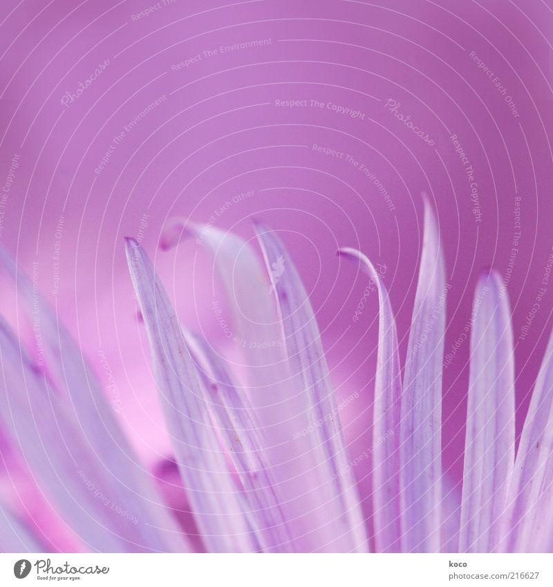 das TOTALE mädchenfoto schön Pflanze Blume Blüte träumen rosa elegant frisch außergewöhnlich ästhetisch violett zart Blühend Blütenblatt zierlich