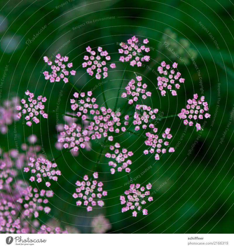 unscheinbares Detail | am Strauch Natur Pflanze schön grün Blume Umwelt Blüte rosa zart Blütenkelch