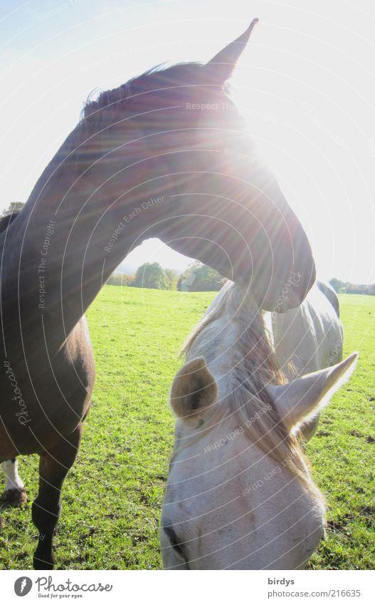 shining horse Natur schön Sonne Tier Leben Wiese Freiheit hell Stimmung Kraft elegant natürlich außergewöhnlich ästhetisch leuchten stehen