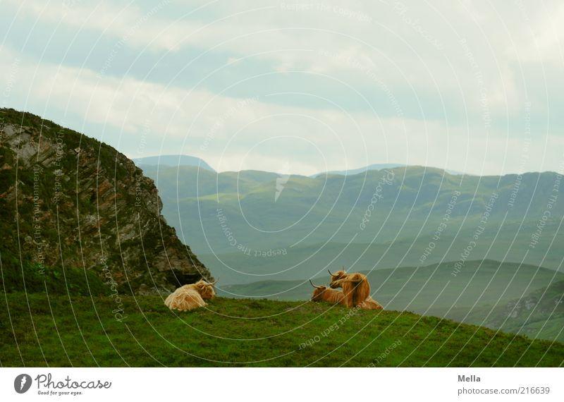 Pause Umwelt Natur Landschaft Erde Himmel Wiese Hügel Felsen Berge u. Gebirge Schottland Tier Nutztier Kuh Galloway 3 liegen stehen Zusammensein ruhig Ferne