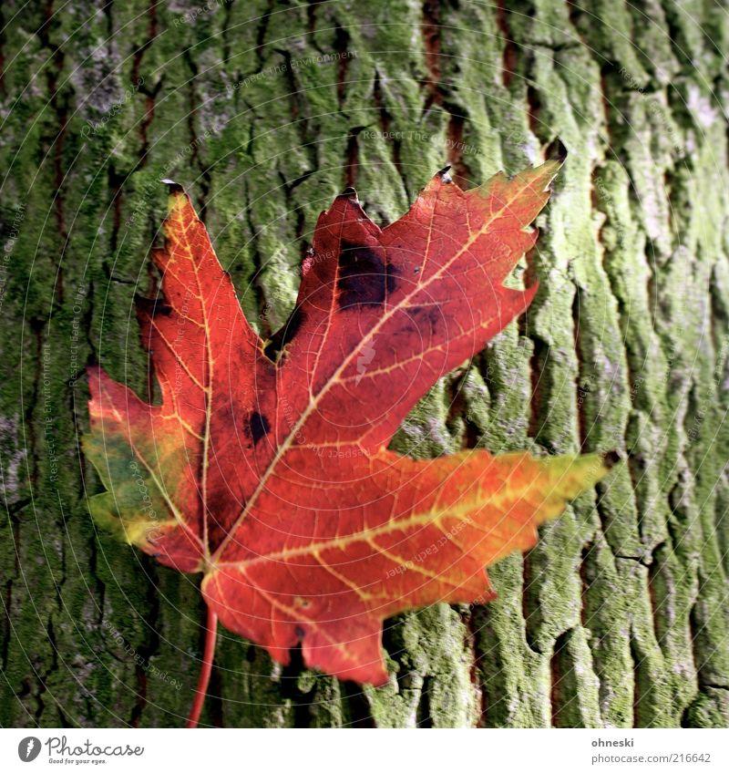 Herbst Umwelt Natur Pflanze Baum Ahorn Ahornblatt Warmherzigkeit Erholung Idylle Farbfoto mehrfarbig Nahaufnahme Sonnenlicht Baumstamm Baumrinde Herbstfärbung