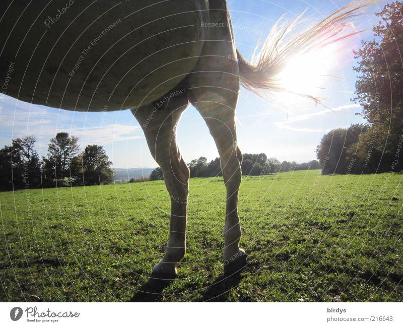 Horsepower Natur Sonne Sonnenlicht Schönes Wetter Gras Tier Pferd 1 stehen außergewöhnlich natürlich blau grün Kraft Tierliebe standhaft Bewegung Sonnenstrahlen