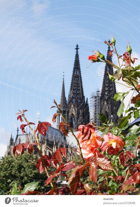 rosiges Köln Himmel Pflanze Ferien & Urlaub & Reisen Ausflug Rose Tourismus Sträucher Spitze historisch Wahrzeichen Dom Blauer Himmel Gotik Bildausschnitt