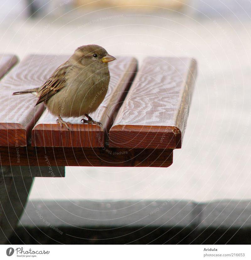 Pillnitzer Spatz Tier Holz grau Stimmung braun Vogel frei Tisch rund weich Tiergesicht wild Neugier niedlich frech Spatz