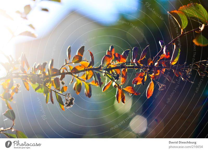 Kaum ist der Herbst da... Natur Pflanze Farbe Blatt braun orange Wetter Schönes Wetter Ast Zweig Herbstlaub Bildausschnitt Anschnitt herbstlich Herbstfärbung