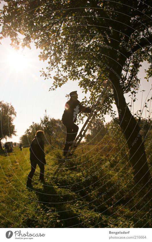 Apfelfänger Mensch Umwelt Natur Klima Baum Apfelbaum Leiter Klettern grün Landwirtschaft Ernte Herbst Blatt Baumstamm Apfelplantage Streuobstwiese Obstbaum